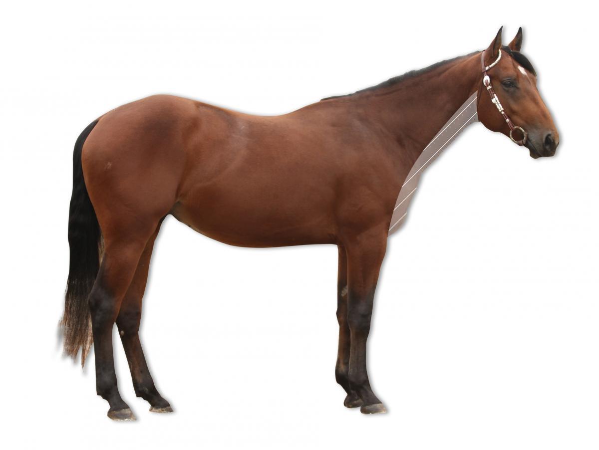 Ziemlich Weibliches Pferd Anatomie Ideen - Anatomie Ideen - finotti.info