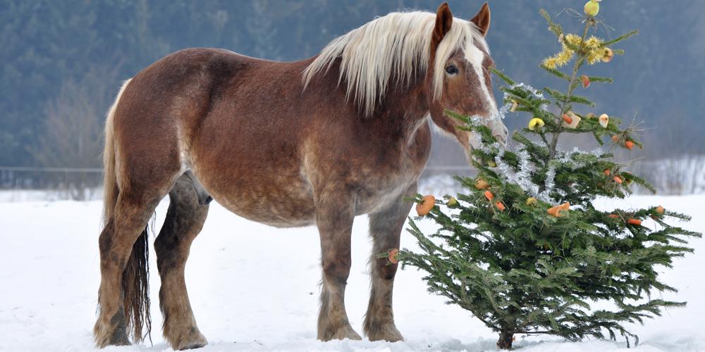 knabbern an weihnachtsb umen sch dlich f r pferde. Black Bedroom Furniture Sets. Home Design Ideas