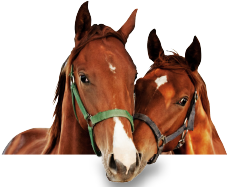 aderlass bei pferden