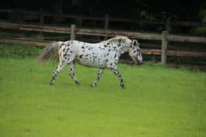 Knabstrupper und Pinto Pony