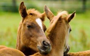 Fellpflege unter Kumpels Quarter Horse Fohlen 2008 von Monray Quarter Horses, Yvette Saad