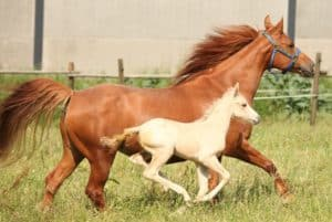 Die Quarabstute Monas June Power mit ihrem Palomino Stutfohlen von Hot Power Shot (Quarter Horse)