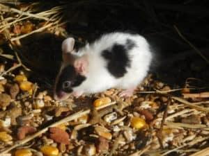 hilft polytanol ach bei ratten bekämpfen ohne gift