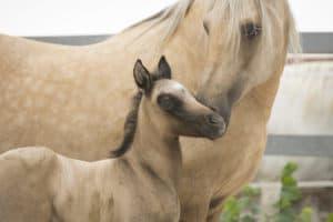 Palomino Fohlen mit Mutter