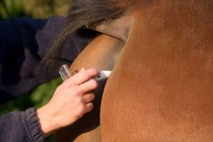 Pferd - Fiebermessen