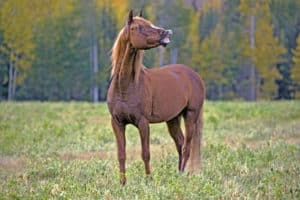 Flashy Arabian chestnut Stallion standing in meadow, late summer.