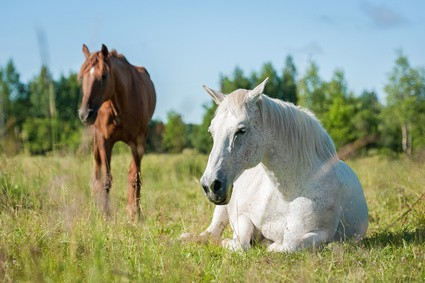 White horse sleeping on the pasture in summer