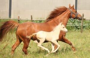 Die Quarabstute Monas June Power mit ihrem Palomino Stutfohlen von Hot Power Shot (Quarter Horse)