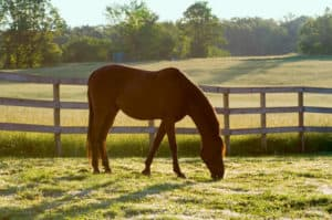 A horse grazes in the early morning dew.