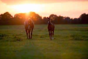 Mother horse with foal on farm land at sunset. Geesteren. Achterhoek. Gelderland. The Netherlands.