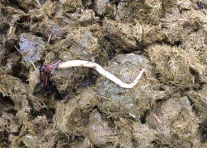 Die Würmer kann man vom Knoblauch behandeln