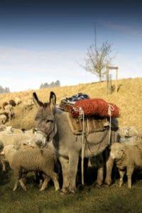 Schafherde auf Wanderung *4*