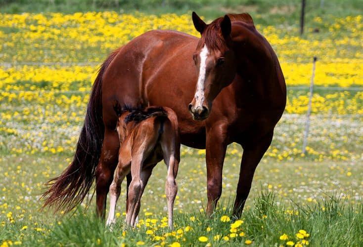 Pferde Zucht Spiel