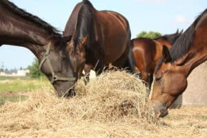 Herd of brown horses eating dry hay in summer
