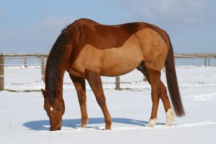 pferde scheren welches schermuster ist das richtige pferdewissen online. Black Bedroom Furniture Sets. Home Design Ideas