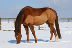 geschorenes Pferd im Schnee