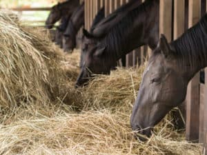 brown horses eating fresh hay