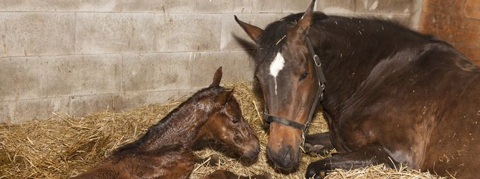 eine braune Stute kurz nach der Geburt mit ihrem Fohlen in einer Pferdebox