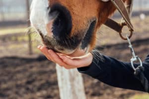 Horse eating from hand. Horizontal shot.